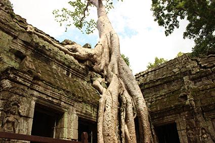 Las inmensas raíces de  un spun tree se aferran a unas de las paredes del templo Ta Phromo, en Camboya.