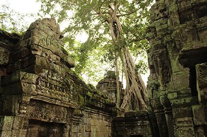 Un inmenso spung tree surge ergido de entre las ruinas del templo Ta Phromo (Camboya).