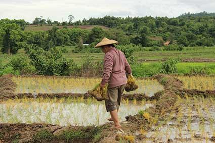 Una campesina lleva en sus manos varios fajos de brotes de arroz para plantar, en Pai al norte de Tailandia.