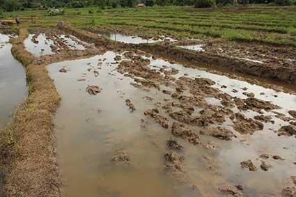 Campo de arroz anegado a las afueras de Pai, al norte de Tailandia.