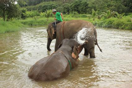 Dos elefantes se refrescan en la charca de agua el campamento Baan Chang, en Chiang Mai.