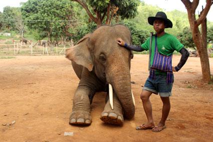 """Un """"mahut"""" o cuidador posa al lado de su elefante con un Kor fang colgado la espalda, Baan Chang (Chiang Mai)."""