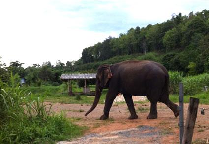 Foto tomada con mi móvil de un elefante paseando por el campamento Baan Chang, en Chiang Mai.