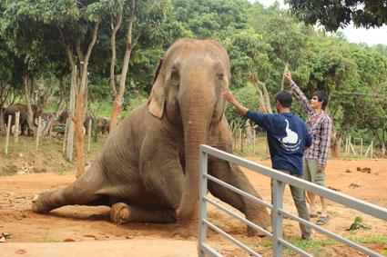 Un elefante recostado se deja acariciar por el mahut en el campamento Baan Chang de Chiang Mai.