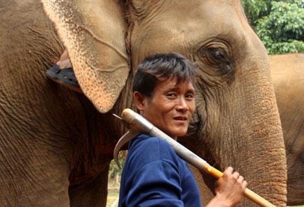 """Un """"mahut"""" o cuidador de elefantes sostiene en su hombro su kor chang, en Baan Chang, Chiang Mai."""
