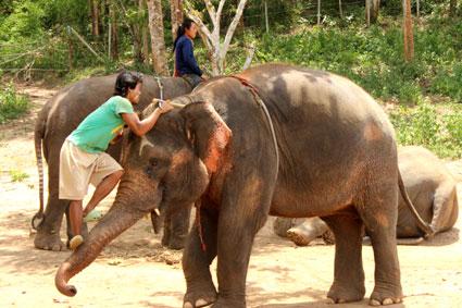 """Un """"mahut"""" o cuidador utiliza la fuerza de la trompa de este elefante para enderezarse hasta la cabeza del paquidermo, Baan Chang (Chiang Mai)."""
