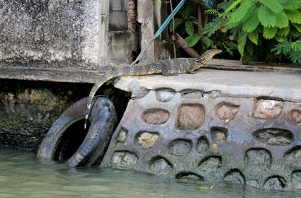 Un lagarto gigante toma el sol en el margen de uno de los canales del río Chao Praya, en Bangkok.