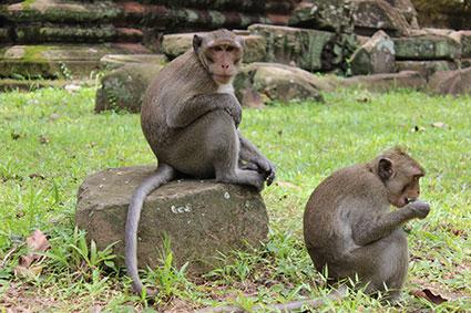 Un mono se sienta encima de un bloque de piedra caído del templo Kdie, en Camboya.