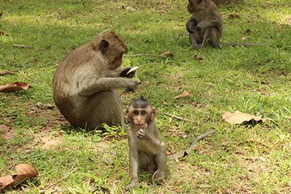 Una cría de mono se alimenta de frutos caídos a los pies del templo Bonteay Kdie, en Camboya.