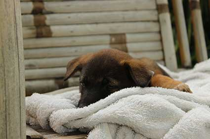 Pai a punto de dormir plácidamente en la toalla de la habitación en Pai, Al norte de Tailandia.