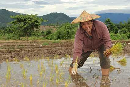 Una campesina planta arroz de forma tradicional en Pai, al norte de Tailandia.