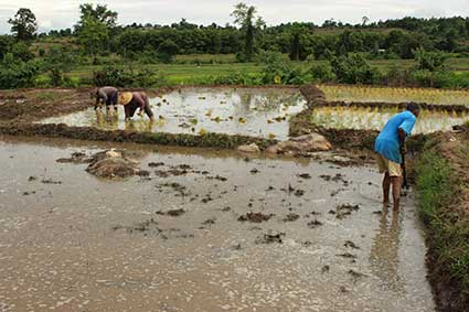 Un grupo de campesinos planta arroz en Pai, al norte de Tailandia.