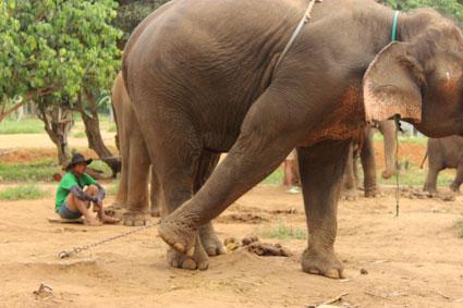 Uno de los ejemplares de elefante encadenados mientras esperan ser alimentados en el campamento Baan Chang (Chiang Mai).