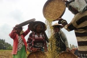Varias mujeres separan el grano del arroz, de la paja en un arrozal de los alrededores de Ubud (Indonesia).