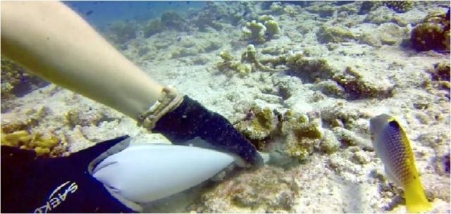 CEMENTADO DEL CORAL. Con una manga pastelera repleta de cemento marino se fijaban los jóvenes corales al fondo marino. Copyright: David Derand