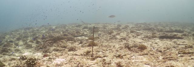 ARRECIFE TRASPLANTADO. En los dos años de vida del proyecto se han logrado trasplantar 25.000 nuevos corales, devolviendo así la vida al arrecife. Copyright: Claude Reveret