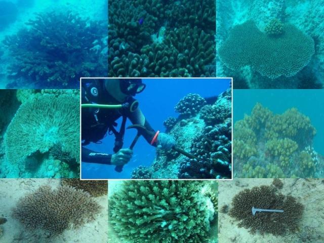 CORALES DONANTES. Para crear los viveros el equipo de Frías-Torres recogió de los corales supervivientes una muestra del tamaño de un pulgar y frangmentos de coral rotos. Copyright: David Derand