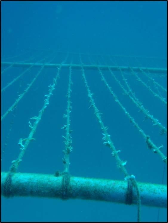 CULTIVO DE CORALES: Fagmentos de coral (nubbins) reciÉn sembrados en nursery (vivero). La nursery esta a 8 metros bajo la superficie del mar, anclada en un fondo marino de 18 metros profundidad total. Copyright: David Derand