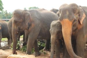 Una manada de elefantes en el campo abierto en la jungla, en el Elephant Orphanage de Pinnewala, cerca de Kandy (Sri Lanka).