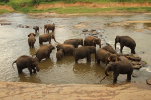 La manada de elefantes del orfanato de Pinnewala se refresca en el río Mahawali Ganga, Sri Lanka