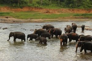 La manada de elefantes del orfanato de Pinnewala se refresca en el río Mahawali Ganga, Sri Lanka.