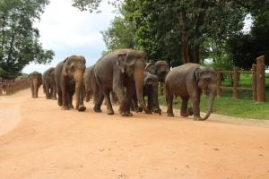 La impresionante manada de elefante va en busca de un refrescante baño en el río Mahaweli Ganga, Sri Lanka.