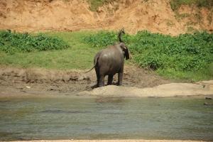 Uno de los paquidermos se echa barro húmedo por el cuerpo como capa protectora contra los rayos del sol, en el río Mahawali Ganga, Sri Lanka.