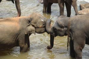 Dos elefantes enredan sus trompas en el río Mahawali Ganga, Sri Lanka.