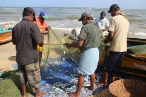 Varios pescadores sacan de las redes sardinas, en la playa de Negombo. Sri Lanka.