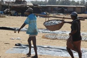 Una pareja de pescadores cargan una cesta de pescado listo para salar, Negombo, Sri Lanka.