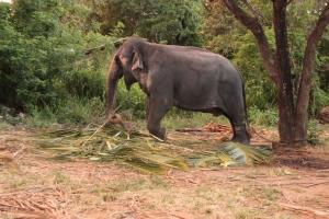 Un elefante come hojas de palma encadenado después de una extenuante jornada de trabajo en Sigirya, Sri Lanka.