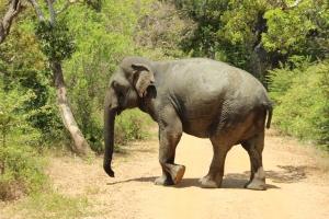 Un elefante salvaje se dirige hacia la espesura en el Parque Nacional de Yala, Sri Lanka.