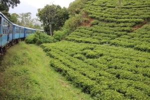 Una plantación de té, al paso del tren que va de Kandy a Ella, Sri Lanka.