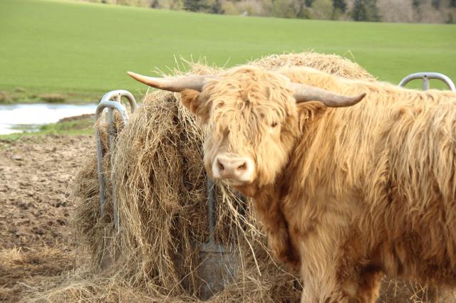 Vaca-lanuda