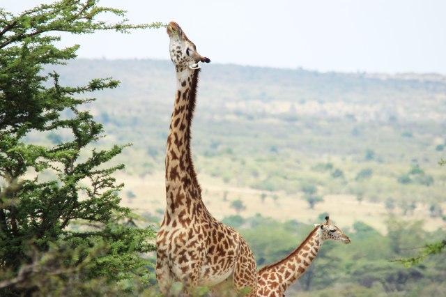 IMG_5955-jirafa-comiendo-web