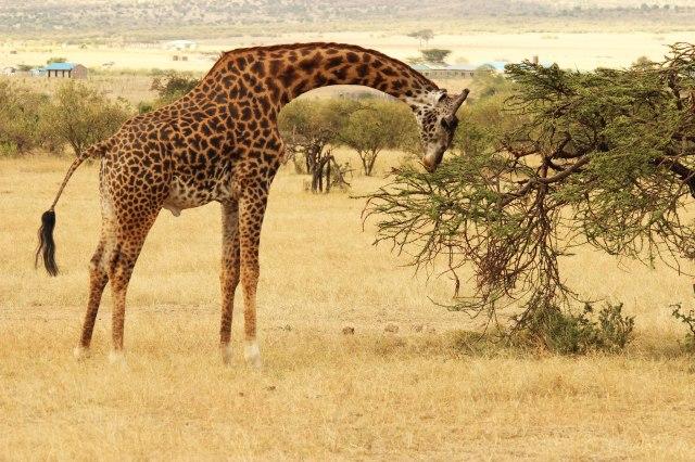 IMG_5996-jirafa-comiendo-pg-web