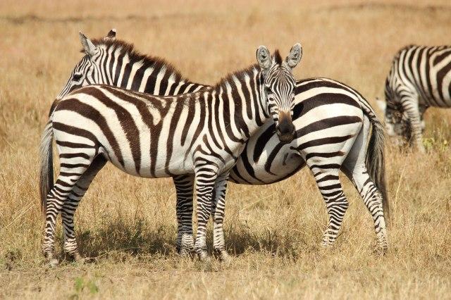 IMG_6972-Zebras-posicion-flancos-Web