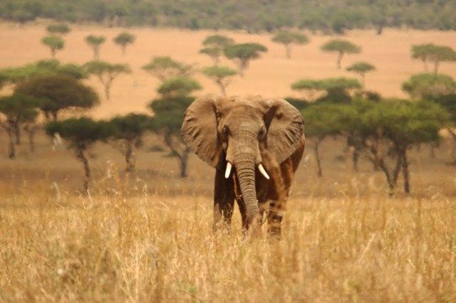 IMG_7310-Elefante-sabana-desenfocada-Web