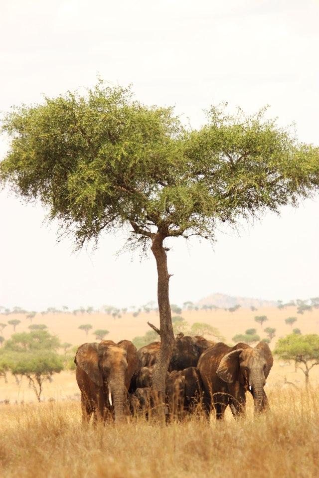 IMG_7315-Elefantes-bajo-arbolWeb