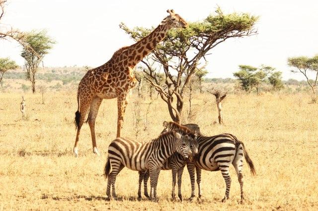IMG_7421-zebras-y-jirafasWeb