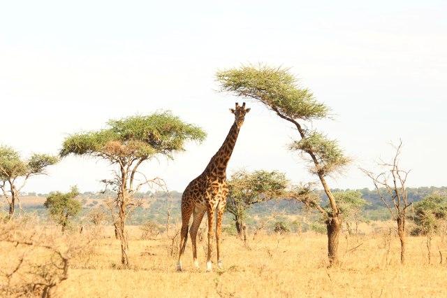 IMG_7426-jirafa-sombra-acacia-ok-Web