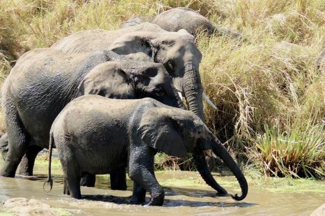 IMG_7940-Elefantes-grupos-Web