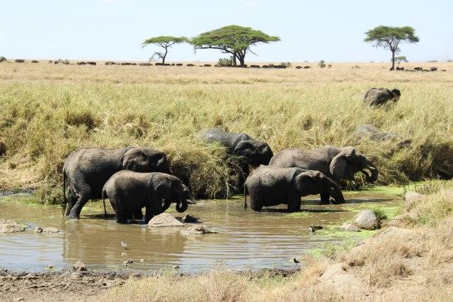 IMG_7962-Elefante-charcha-y-acacias-Web