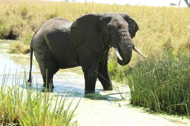 IMG_7984-Elefante-macho-charcha-Web-