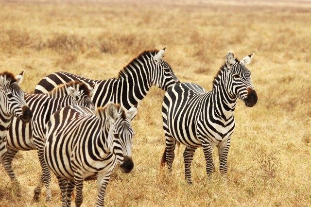 IMG_9390-Zebra-Web