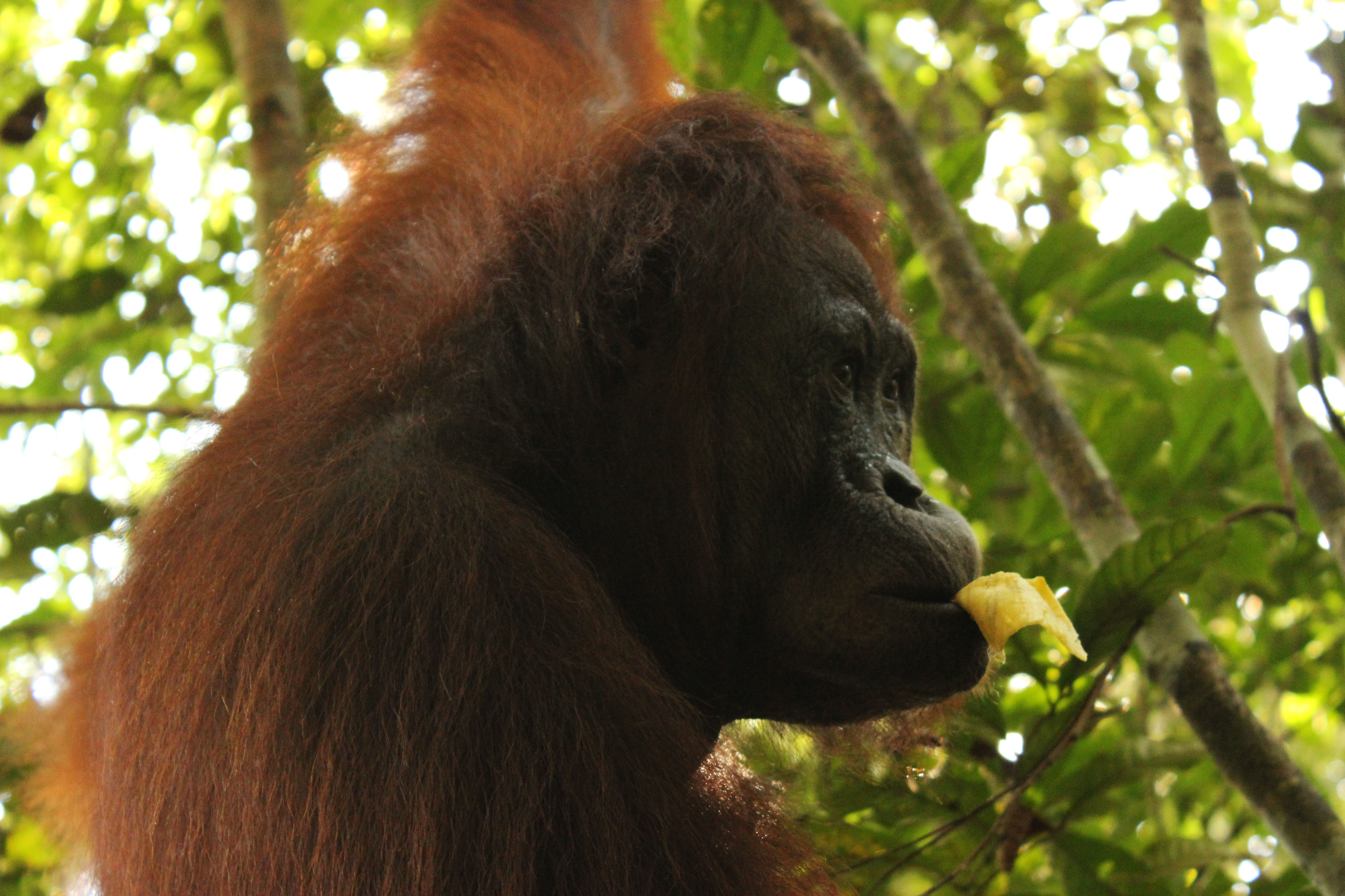 Hembra-de-orangutan