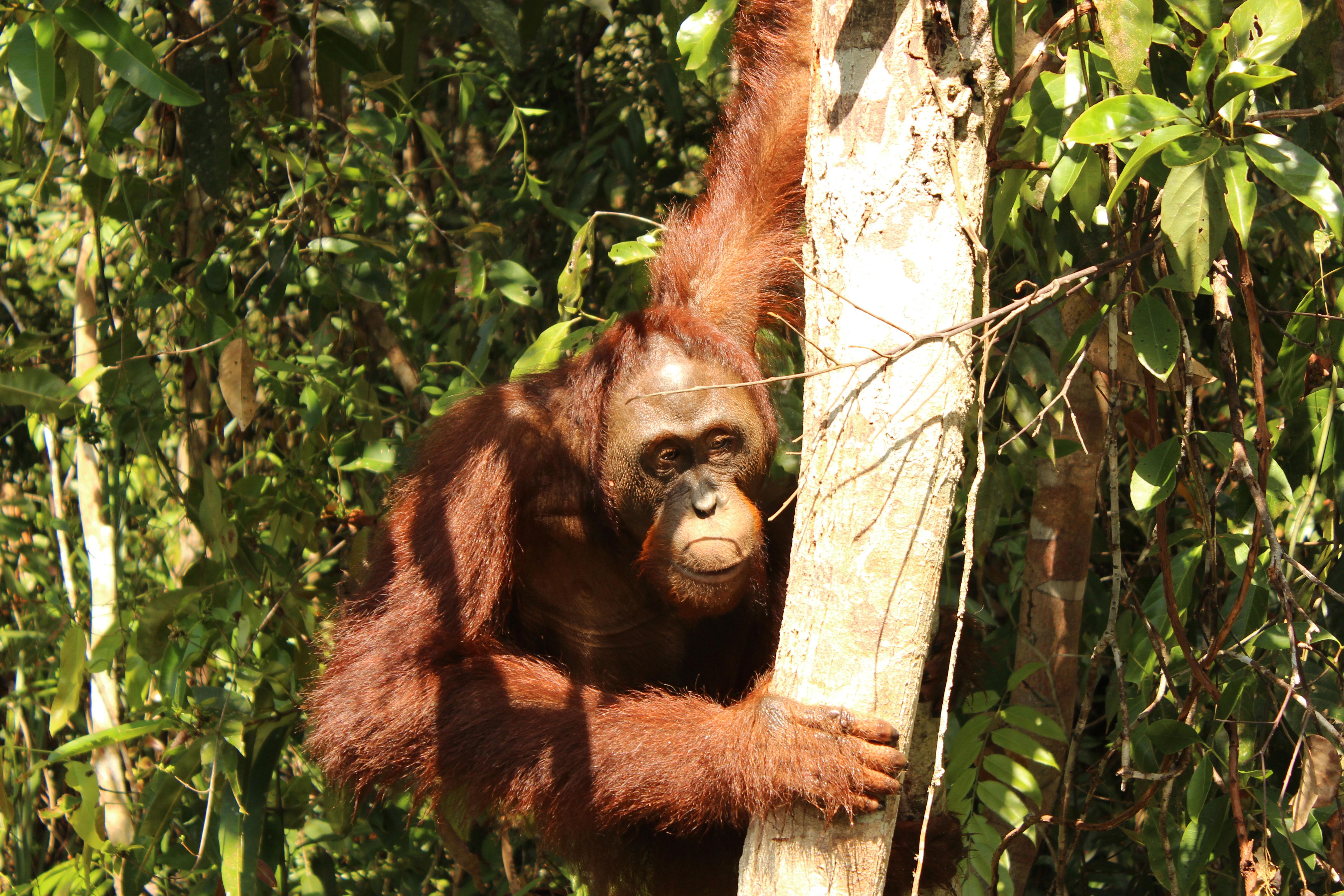 Orangutan-en-el-arbol
