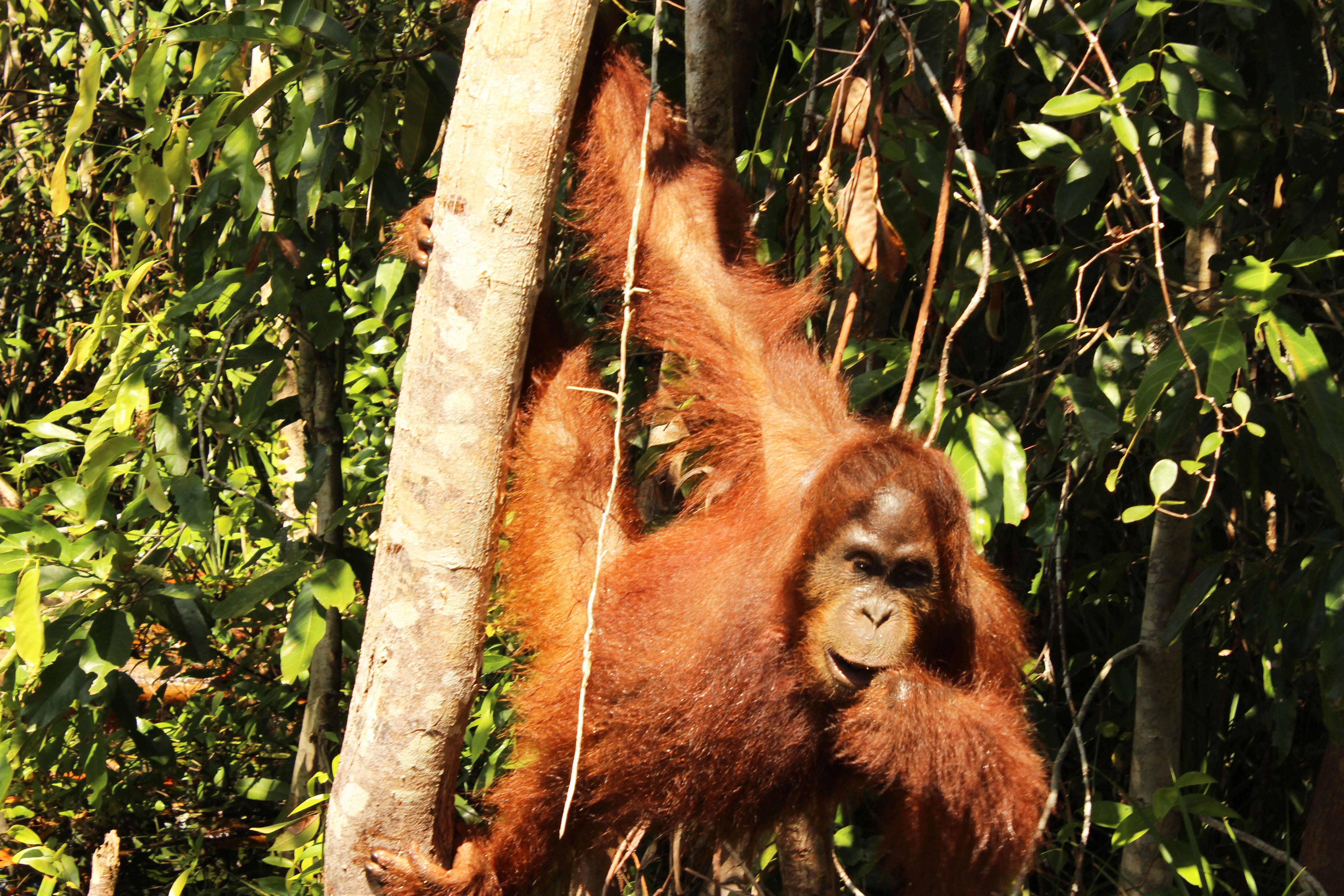 orangutan-en-el-rio